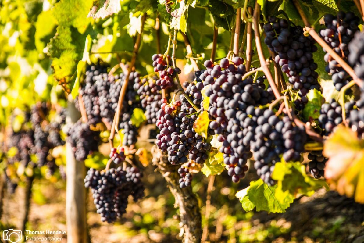 ... und neben dem Bunker wächst der gute Rotwein von Bad Neuenahr-Ahrweiler (Foto: www.thomashendele.de)