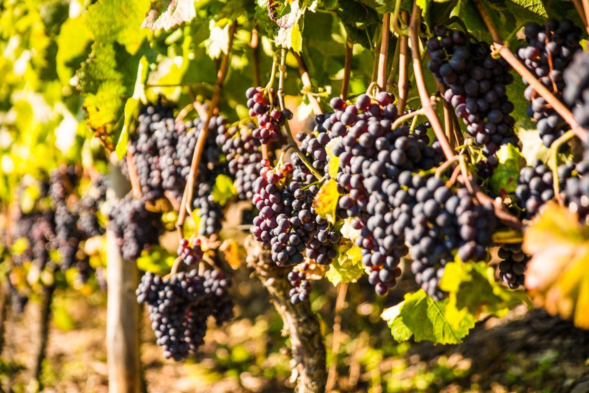 Rote Weintrauben in der Osteifel (Foto Ⓒ Thomas Hendele Fotografie, www.thomashendele.de)